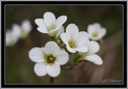 2010_05_18_Fleur_de_saxifrage