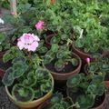 2009 07 01 Tous mes géranium qui sont en fleurs pour la plupart