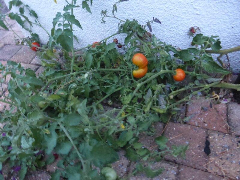 14-tomates (3)