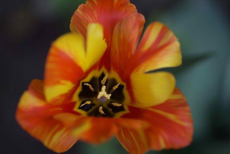 tulipes - 1