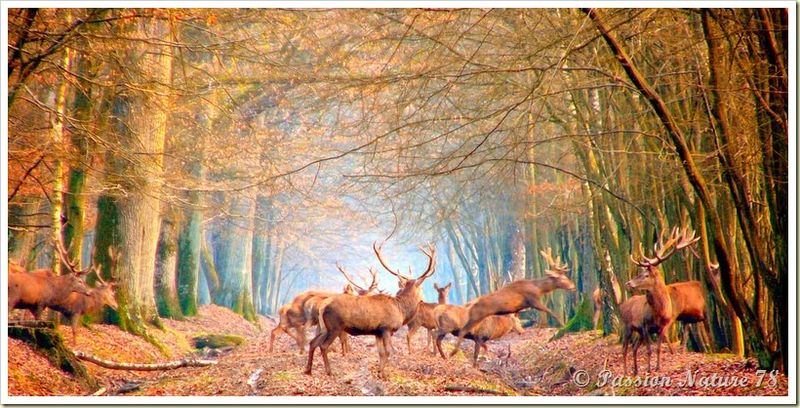 Le cerf (6)