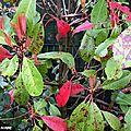 Pourquoi les feuilles de vos photinias se tachent-elles ?