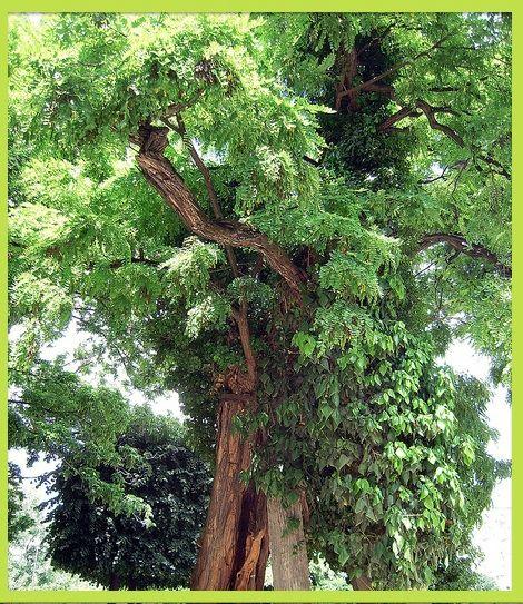 square rene viviani arbre 3