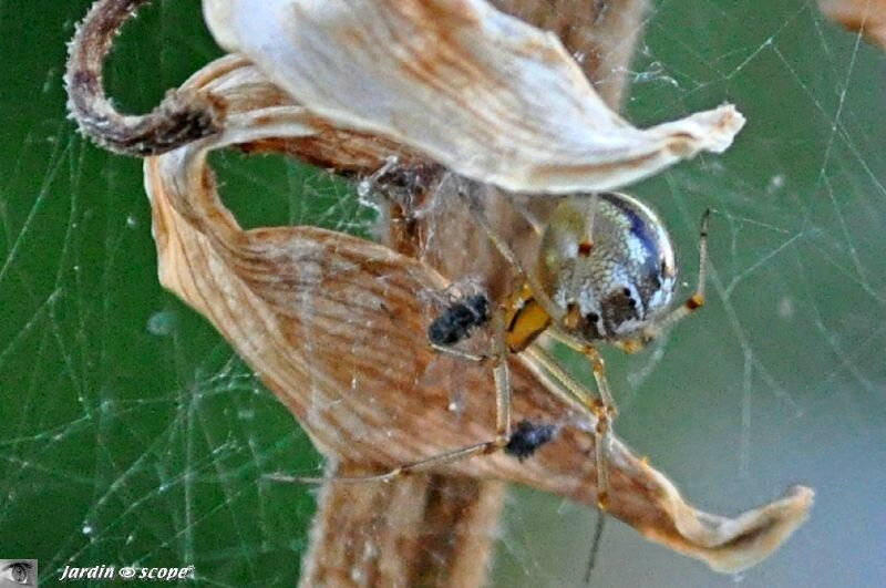 Theridion sisyphium