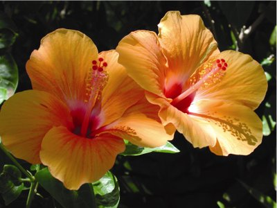 hibiscus_orange