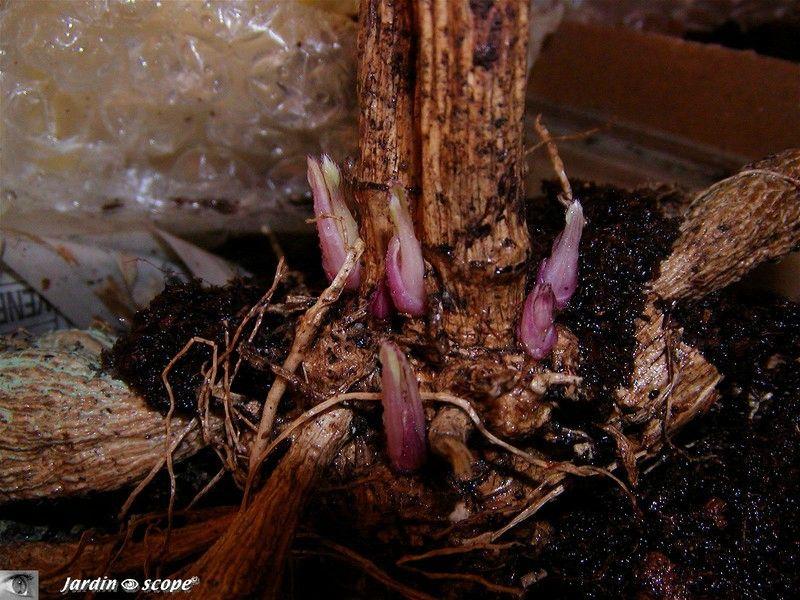 Comment r ussir vos dahlias le jardinoscope cot pratique les bons gestes faire au jardin - Comment planter des dahlias ...