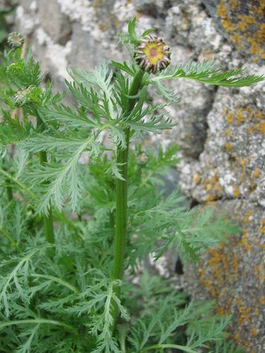 2008 05 14 Futur fleur de Pyrètre de Robinson