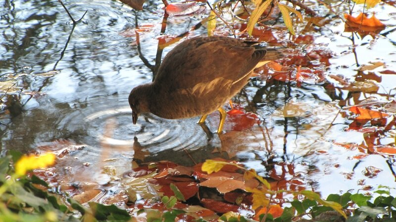 31-10-11-poule d'eau