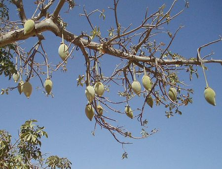 fruits du baobab ou pain de singe