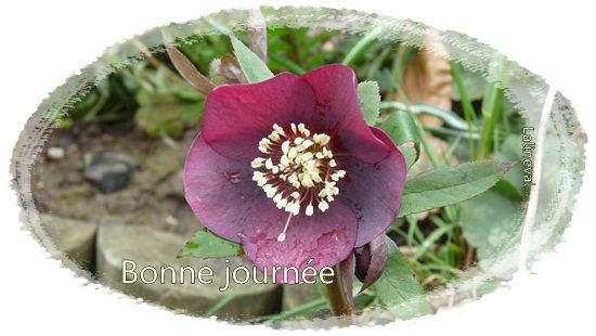 hellebore