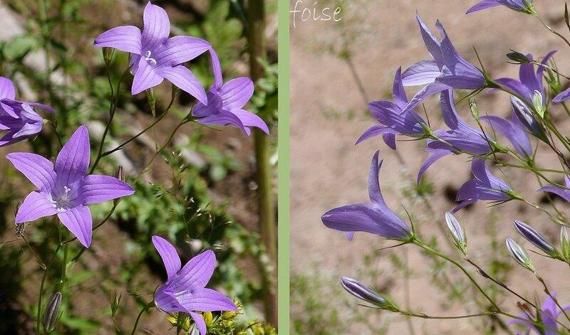 Fleurs d'un bleu-violet en panicule lâche à rameaux allongés étalés-dressés