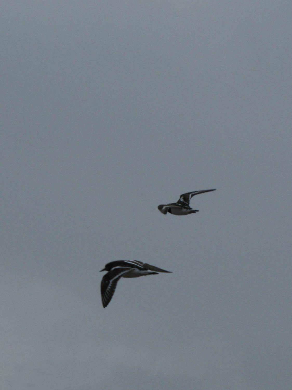 Oiseaux ile de re foto Mo2 (38)-h1500