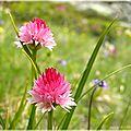 Orchidées alpines