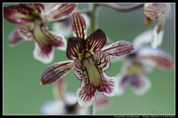 Oeceoclades saundersiana 2