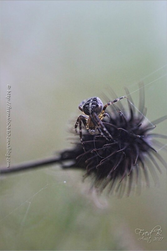 Araneus diadematus ♂