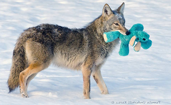 coyote_dog_toy