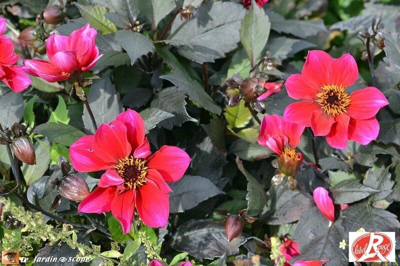 Dahlia Simply Red