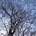 les premières fleurs des Cherry blossoms (japonais: sakura ou cerisiers en français)