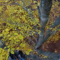 2009 10 31 Depuis le haut d'un Fayard (hêtre), vu sur le branchage et les feuilles d'automnes (8)