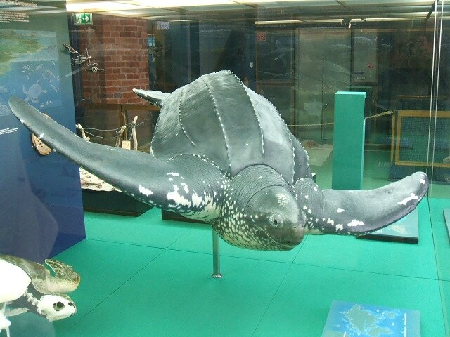 Stralsund,_Germany,_Meeresmuseum,_Risenschildkröte_(2006-10-23)