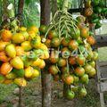 route sarapiqui limon_fruit d'arbre à coeur de palmier_01