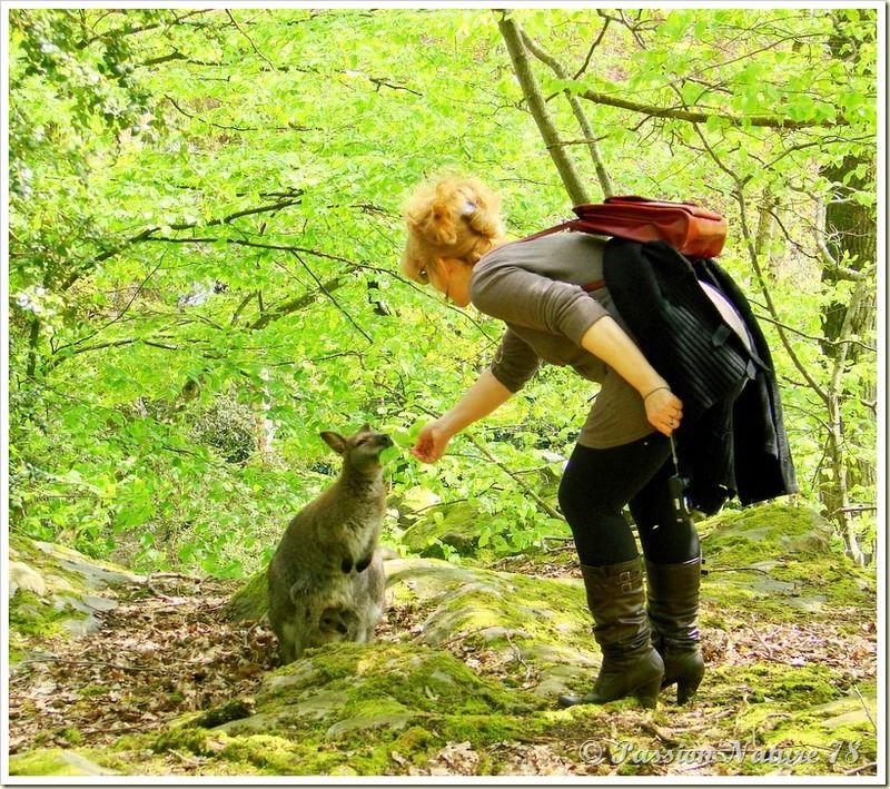wallabies de la forêt de Rambouillet (33)
