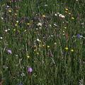 2009 06 04 Fleurs des champs (15)