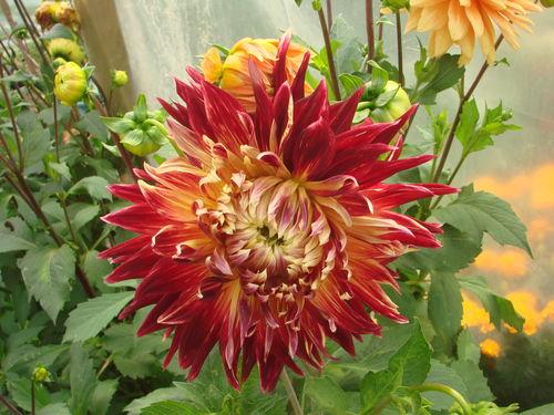 2008 09 09 Une magnifique fleur de dahlias