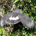 Buteogallus urubitinga - Buse urubu
