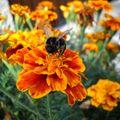 2009 08 20 Une abeille qui butine une fleur d'oeillet d'Inde