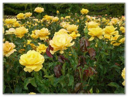 1_fleurs_jaunesP1010943