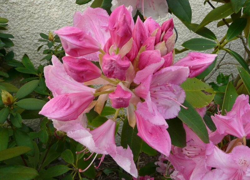 05 - Rhododendron (5)