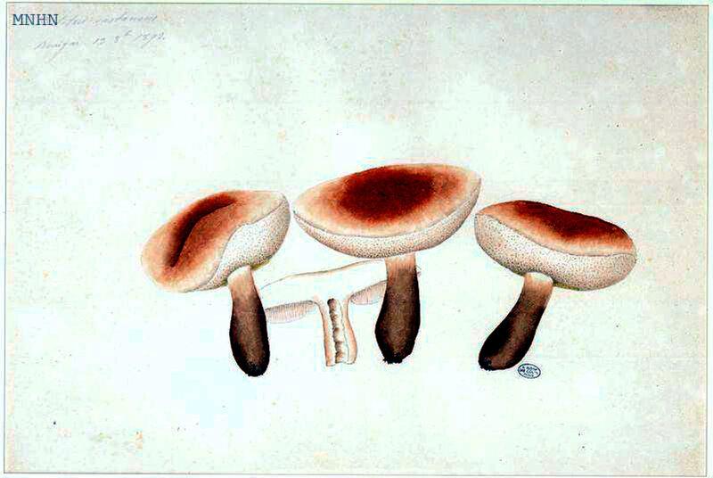 19 Boletus castaneus 19 8bre 1893 Bouigar pl 37