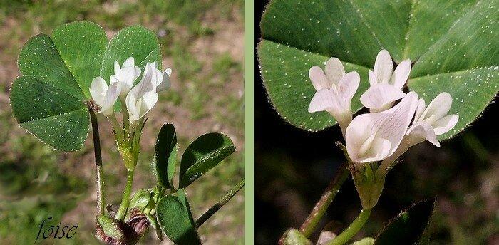 2 à 5 fleurs fertiles longues de 8-14 mm étendard émarginé 1 fois plus long que le calice