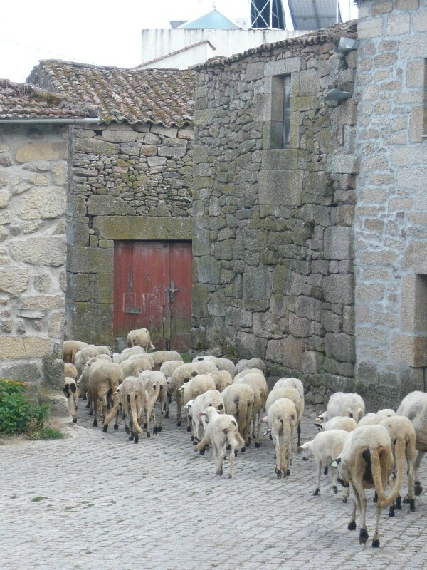 calvao - moutons - Portugal