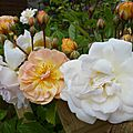 roses jardin blc orange 1