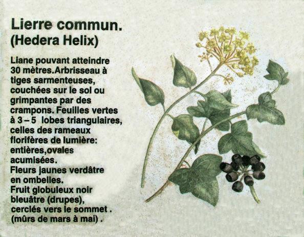 Lierre_panneau