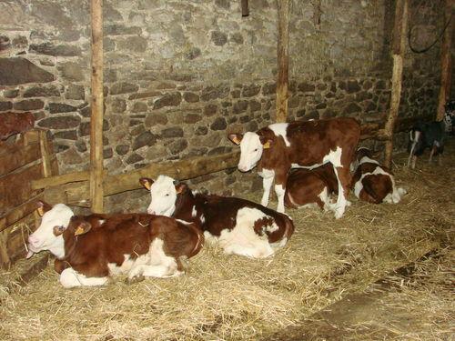 2008 06 02 Les jeune veau femelle Montbéliard