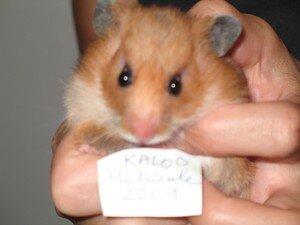 hamster_001