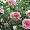 Roses parmi les roses