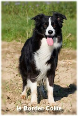 Le Border Collie (chien de berger)