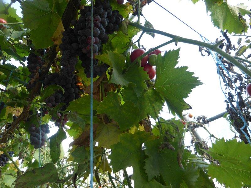 18-raisins (6)