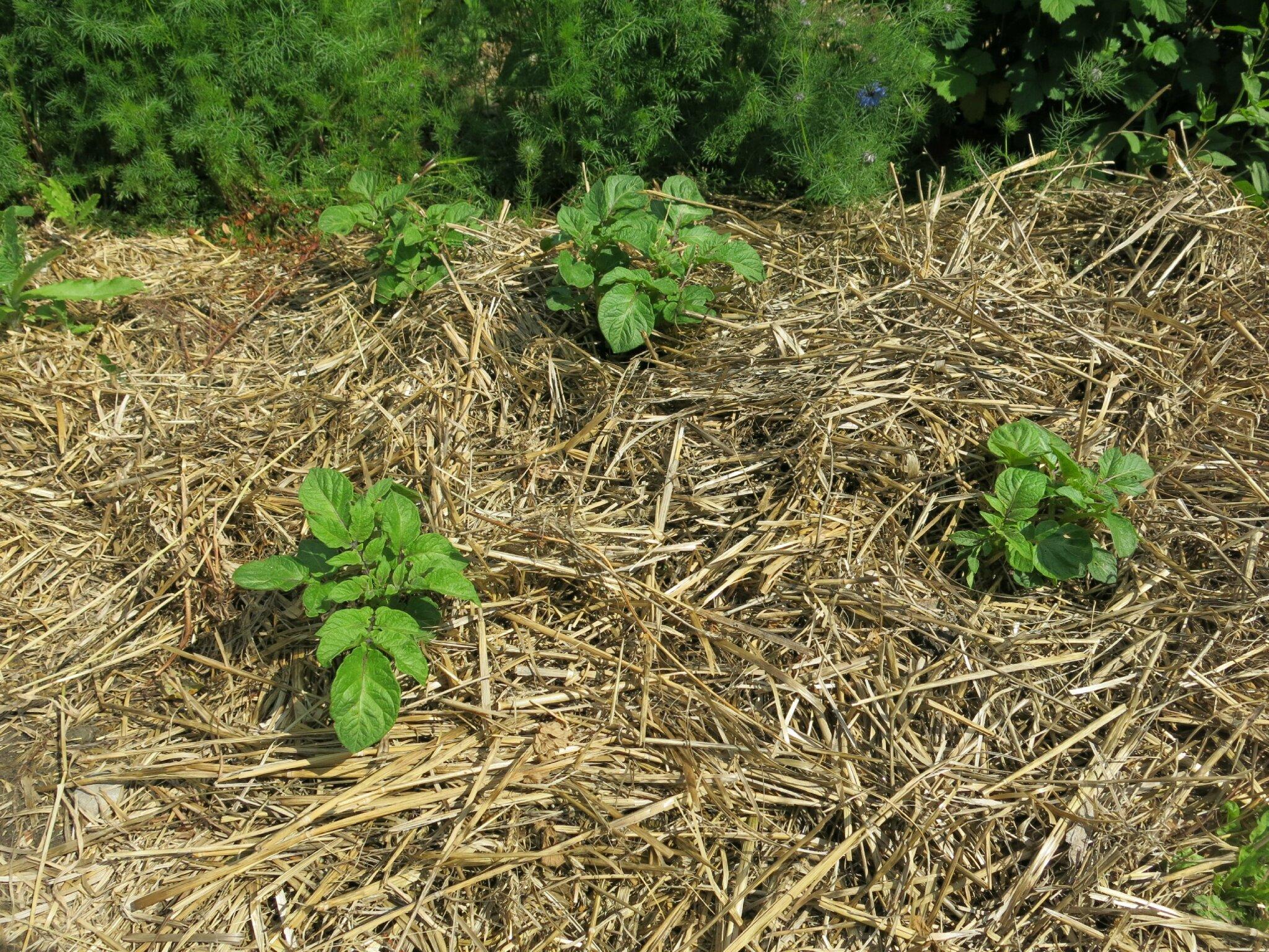 News du jardin le concombre masqu jardinier - Pomme de terre sous paille ...