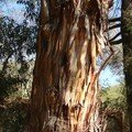 Eucalyptus et son écorce dépouillée