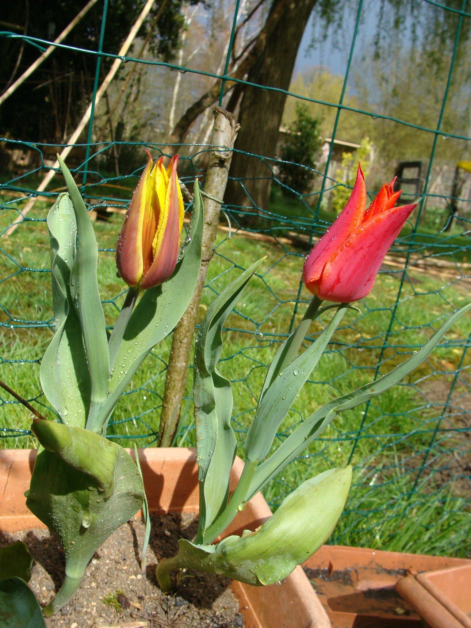samedi 22 mars 2013 les premieres fleurs de mon jardin