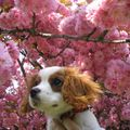 ckc cavalier king charles CHARLY aux-etangs