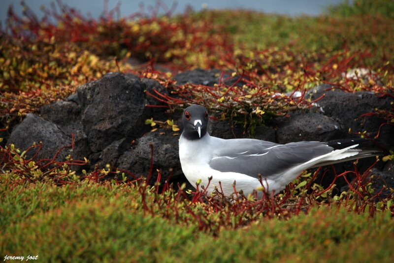 mouette couleur galapagos