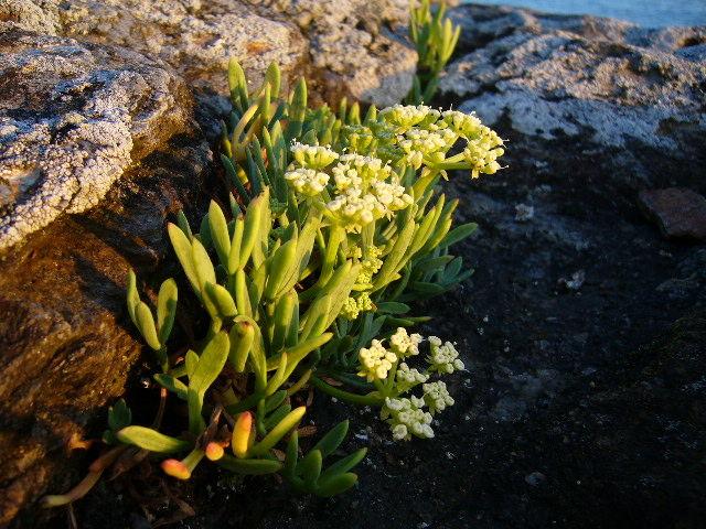 plante grasse bord de mer bretagne