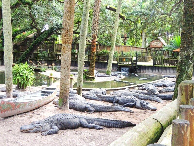 aligator-6