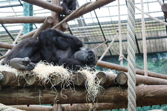 Chimpanzé ©Kid Friendly